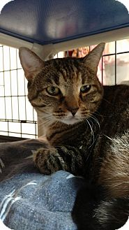 Domestic Shorthair Cat for adoption in Hanna City, Illinois - Robin