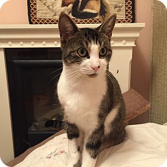 Domestic Shorthair Cat for adoption in Toronto, Ontario - Sharlene