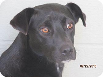 Australian Shepherd/Shepherd (Unknown Type) Mix Puppy for adoption in Mount Sterling, Kentucky - Hawk
