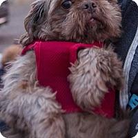 Shih Tzu Dog for adoption in St. Louis Park, Minnesota - Demetrius