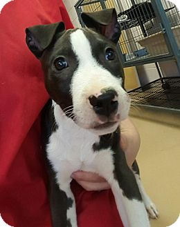 Pit Bull Terrier Mix Puppy for adoption in Gadsden, Alabama - Taz