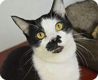 Domestic Shorthair Cat for adoption in Springfield, Illinois - Conrad