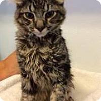 Adopt A Pet :: Comet - Glendale, AZ