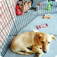 Labrador Retriever Mix Dog for adoption in ST LOUIS, Missouri - Eddison