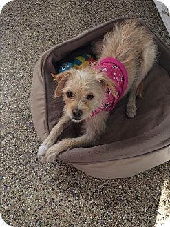 Terrier (Unknown Type, Small) Mix Dog for adoption in Thousand Oaks, California - Olive