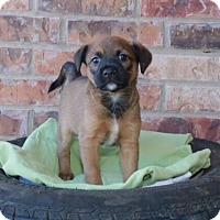 Adopt A Pet :: Camaro - Austin, TX