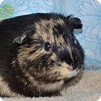 Adopt A Pet :: Halloween - Englewood, FL