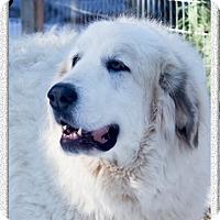 Adopt A Pet :: Faith super gentle giant - Redding, CA