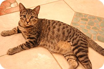Domestic Shorthair Cat for adoption in Eagan, Minnesota - Mario