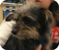 Yorkie, Yorkshire Terrier/Cairn Terrier Mix Dog for adoption in Phoenix, Arizona - Gum Drop