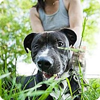 Adopt A Pet :: Pinot Noir - Whites Creek, TN