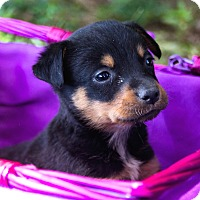 Adopt A Pet :: *Lizzie Beth - PENDING - Westport, CT