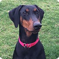Adopt A Pet :: Rumor - Arlington, VA