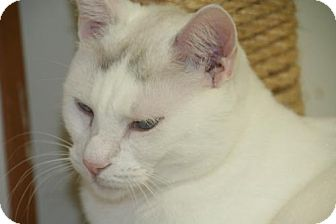 Domestic Shorthair Cat for adoption in Colorado Springs, Colorado - Pear