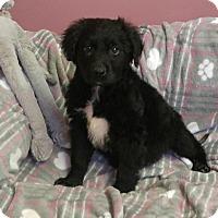 Adopt A Pet :: Torino - Camden, DE