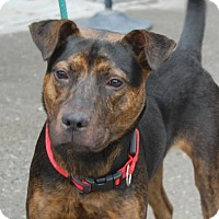 Adopt A Pet :: Victor - Brooklyn, NY