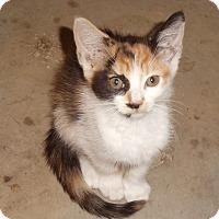 Calico Kitten for adoption in Evans, West Virginia - Becca