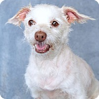 Terrier (Unknown Type, Small) Mix Dog for adoption in Encinitas, California - Mr. Pickles