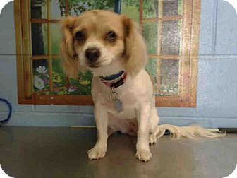 Cocker Spaniel Mix Dog for adoption in San Bernardino, California - URGENT on 10/12 SAN BERNARDINO