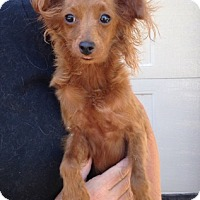 Papillon Mix Dog for adoption in Temecula, California - Red Baron