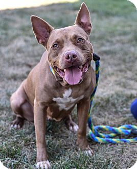 Pit Bull Terrier Mix Dog for adoption in Baltimore, Maryland - Phoebe