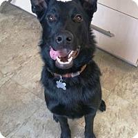 Shepherd (Unknown Type) Mix Dog for adoption in Chicago, Illinois - Glenn