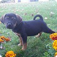Boxer Mix Puppy for adoption in Racine, Wisconsin - Astro