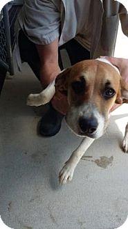 Beagle/Pug Mix Dog for adoption in Paducah, Kentucky - Gunner