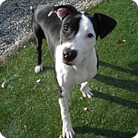 Pit Bull Terrier Mix Dog for adoption in Greensboro, North Carolina - Squirrel