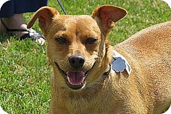 Miniature Pinscher/Dachshund Mix Dog for adoption in Santa Monica, California - Jojo