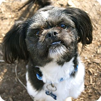 lhasa apso and shih tzu mix max adopted dog east hartford ct shih tzu lhasa 2784