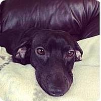 Adopt A Pet :: KOBE - Portland, OR