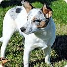 Adopt A Pet :: PUPPY HAZEL