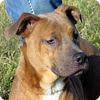 American Staffordshire Terrier/Boxer Mix Puppy for adoption in Germantown, Maryland - Piper