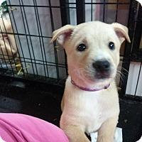 Adopt A Pet :: Scarlett - Westminster, MD