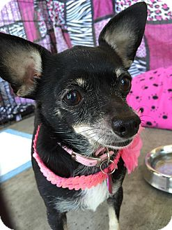 Chihuahua Mix Dog for adoption in Lake Forest, California - Stacy Mae