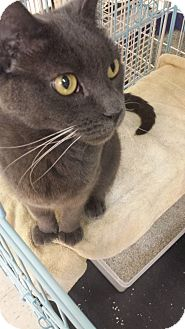 American Shorthair Cat for adoption in Chicago, Illinois - Benji