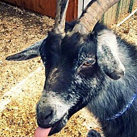 Goat for adoption in Huguenot, New York - Matilda