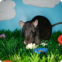 Rat for adoption in Welland, Ontario - Clove