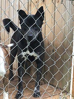 Australian Shepherd/Labrador Retriever Mix Dog for adoption in Staunton, Virginia - Blue