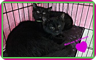 Domestic Shorthair Kitten for adoption in Cranston, Rhode Island - Malcolm and Celeste