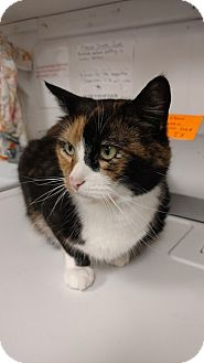 Domestic Shorthair Cat for adoption in Acushnet, Massachusetts - Dawn