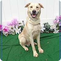 Labrador Retriever Mix Dog for adoption in Marietta, Georgia - HUEY-see video