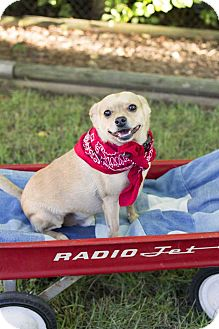 Chihuahua/Pug Mix Dog for adoption in Livonia, Michigan - Biscuit