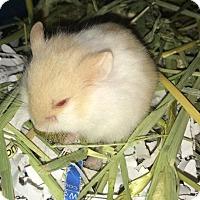 Hamster for adoption in St. Paul, Minnesota - Taffy