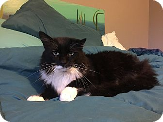 Domestic Mediumhair Cat for adoption in Kenai, Alaska - Dawson