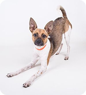 Basenji/Chihuahua Mix Dog for adoption in Atlanta, Georgia - Tamara