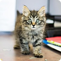 Domestic Mediumhair Kitten for adoption in Decatur, Georgia - Ooma-Adopted