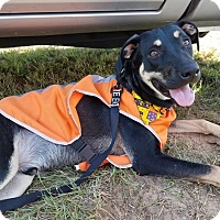 Labrador Retriever Mix Dog for adoption in Navarre, Florida - Dodger