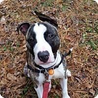 Adopt A Pet :: Rudolph aka Rudy - Columbia, MD